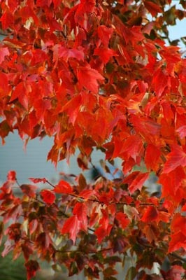Fall Trees with Red Leaves
