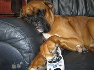 boxer dog sofa tv controller funny