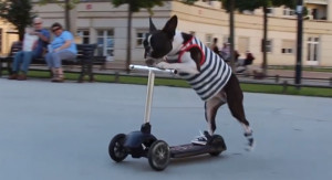 boston-terriers-scootering-in-sneakers-video.jpg