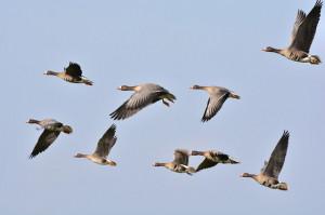 Wild Geese, Geese, Goose, Wild Goose, Flock Of Birds