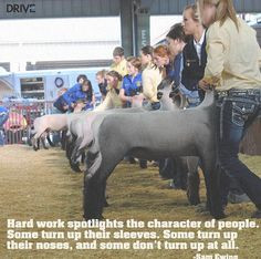 Show Cattle Quotes Lambs, stock show quotes