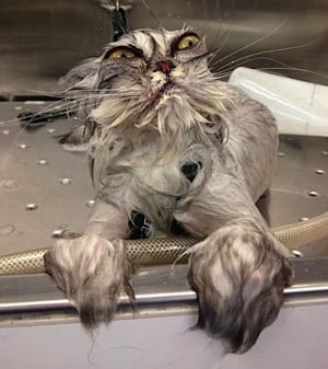 Cats Don't Like to Get Wet