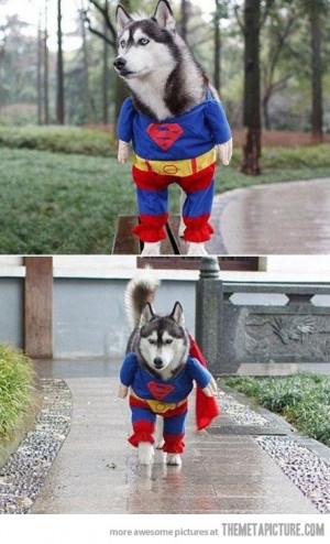 Funny photos funny Dog Superman cool costume Husky