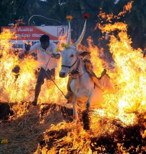 Farmers in karnataka (India) celebrate their pongal harvest festival ...