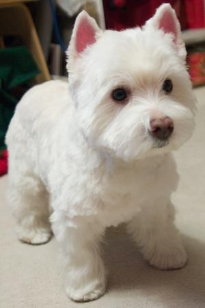 Westie Puppy Cut