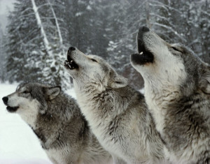 wolves-howling