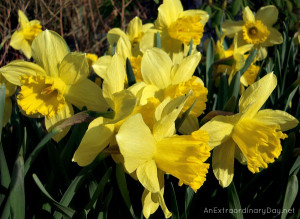 Daffodils Quote :: Beautiful up close photo of Daffodils ...