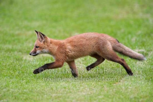 fox red vulpes vulpes canidae rwp 3d2 4952 description young red fox