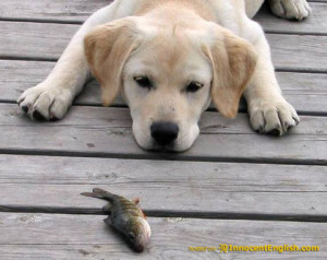 the most popular type of dog in america is the labrador retriever lab ...