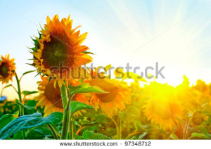 Sunflowers Cover Pictures With Quotes. QuotesGram