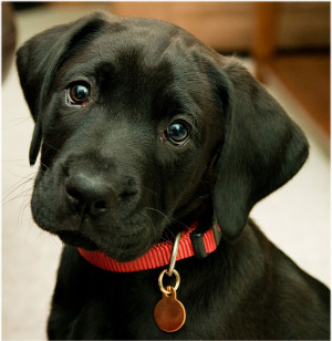 Black Lab Puppies Wallpaper