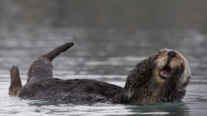 ラッコの毛づくろい」アメリカ, アラスカ, プリンス ...