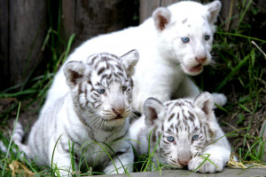 Endangered animals, endangered animals list, pictures of endangered ...