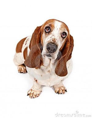 Basset Hound Dog Wearing...