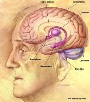 ... wikipedia http en wikipedia org wiki human brain the human brain is