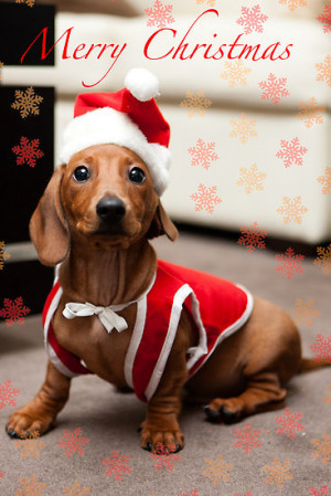 Merry Christmas Sausage Dog By