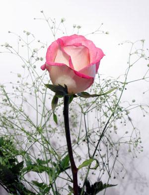 Beautiful Roses   Rose Poems