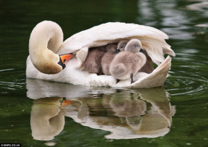 Hop aboard: The mother swan checks on the six cygnets tucked beneath ...