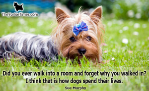 Do you have any great forgetful Yorkie stories?