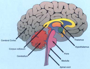 The control centre of the human body is the human brain. It is by far ...