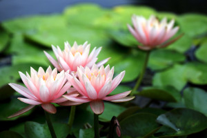pink water lily lilies flowers petals wallpaper background