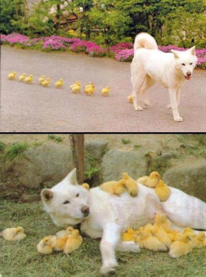 Husky mum to baby ducks!