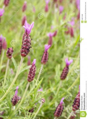 Purple lavender flowers 'Lavandula stoechas'.