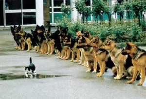 German shepherds sit and watch cat walk by
