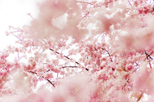 ... tree japan beautiful flower pink nature spring cherry blossoms