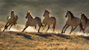 wild horses wallpapers