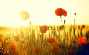 Flowers, flowers, flower, flowers, poppy, poppies, red, field, sun ...