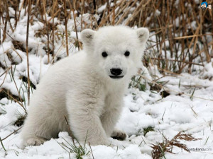 Polar Bears 1024x768 Wallpaper # 14