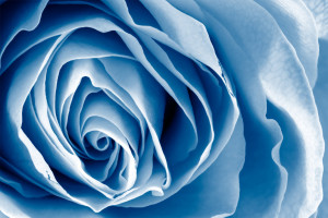 blue_rose_by_somadjinn-d31dtlo