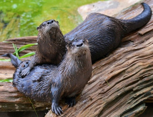Otters image via Tampa's Lowry Park Zoo at www.Facebook.com/TampaZoo