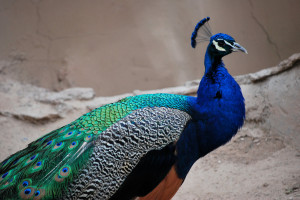 peacock pictures, peafowl pictures, most beautiful and colorful bird ...