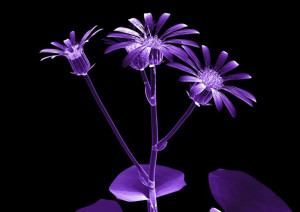 Ray flower wallpaper Wallpaper X-Ray flower