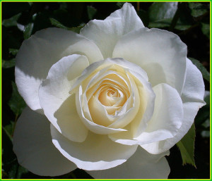 Love Is Like A Rose. It Looks Beautiful On The Outside.., But