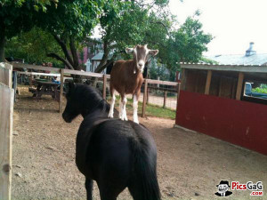 Horse and Goat Animal Friendship