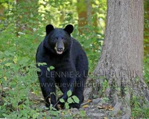 Black bear in forest hunting for food