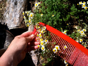 Harvesting feverfew with an agricultural comb