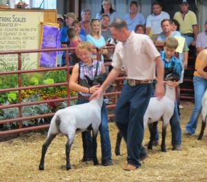 ... lambs show ring champion show lambs sheep breeding sheep show