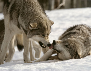 Sawtooth Pack Wolves