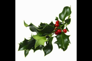 Sprigs of mistletoe hung