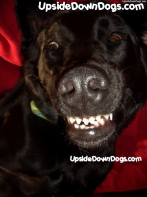 Black Labrador Retriever - Funny Pictures of Puppy Dogs Upside Down ...