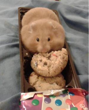 fat cookies hehe hamster