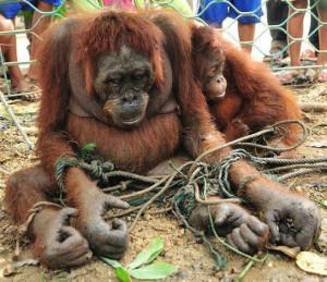 Amende-ment Nutella : les orangs-outans sont chocolats