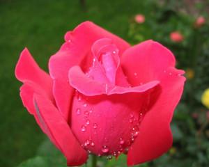 nice red rose flower