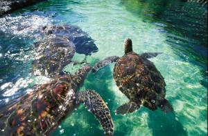 Sea Turtles at Maui Ocean Center.
