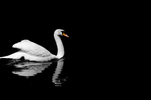 Black And White Sunday Swan...