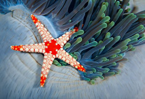 Sea Star and Sea Anemone in coral reef, Indian Ocean, Maldives. Photo ...